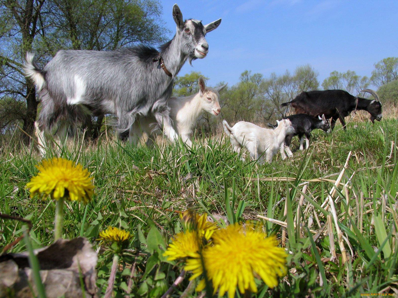 всего, коза с козлятами веретенникова картинки подруга дорогая, спешу